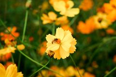 Flor y abeja amarillas hermosas del cosmos Foto de archivo