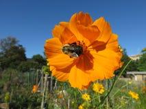 Flor y abeja anaranjadas del cosmos Fotos de archivo libres de regalías