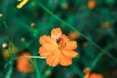 Flor y abeja anaranjadas hermosas del cosmos Imagen de archivo