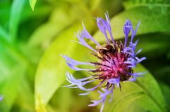 Flor y abeja azules en el jardín Imagen de archivo libre de regalías