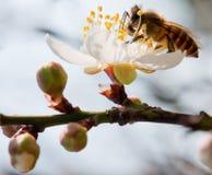 Flor y abeja blancos del ciruelo Foto de archivo