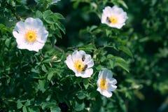 Flor y abeja color de rosa del verano de la primavera Abeja en una flor Imagen de archivo libre de regalías