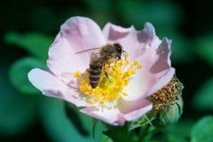 Flor y abeja color de rosa del verano de la primavera Abeja en una flor Fotografía de archivo