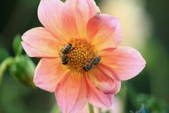 Flor y abeja color de rosa del verano de la primavera Abeja en una flor de una flor rosada Imagen de archivo libre de regalías