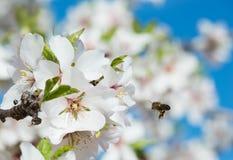 Flor y abeja de la almendra Fotografía de archivo libre de regalías