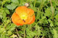 Flor y abeja de la amapola Fotos de archivo libres de regalías