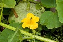 Flor y abeja de la calabaza Fotos de archivo libres de regalías