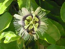 Flor y abeja de la fruta de la pasión Fotos de archivo
