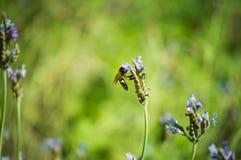 Flor y abeja de la lavanda en el jardín Fotografía de archivo