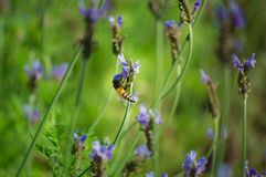 Flor y abeja de la lavanda en el jardín Foto de archivo