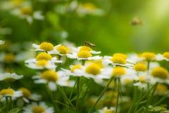 Flor y abeja de la manzanilla Imagenes de archivo
