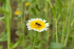 Flor y abeja de la margarita de corona Foto de archivo libre de regalías