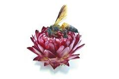 Flor y abeja de la paja Fotos de archivo libres de regalías