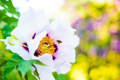 Flor y abeja de la peonía Fotos de archivo