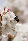 Flor y abeja de la primavera Imágenes de archivo libres de regalías