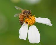 Flor y abeja de la primavera Fotografía de archivo libre de regalías