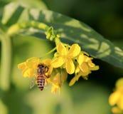 Flor y abeja de la rabina Foto de archivo