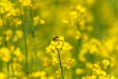 Flor y abeja de la rabina en ella Macro Foto de archivo