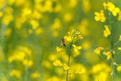 Flor y abeja de la rabina Macro Fondo borroso Imagen de archivo libre de regalías