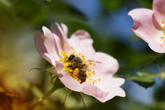 Flor y abeja de la rosa del rosa de la primavera Abeja en una flor Fotos de archivo