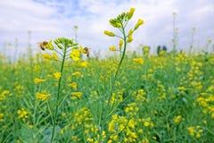 Flor y abeja de la violación Imagen de archivo libre de regalías