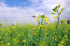 Flor y abeja de la violación Foto de archivo libre de regalías