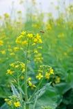 Flor y abeja de la violación Fotos de archivo libres de regalías