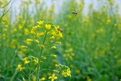 Flor y abeja de la violación Imagenes de archivo