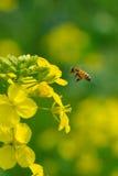 Flor y abeja de la violación Imágenes de archivo libres de regalías