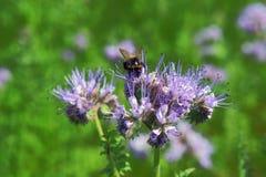 Flor y abeja de la violación i Imágenes de archivo libres de regalías