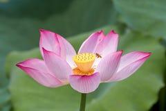 Flor y abeja de Lotus Imágenes de archivo libres de regalías