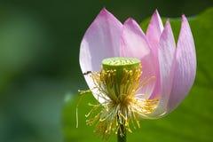 Flor y abeja de Lotus Fotografía de archivo libre de regalías