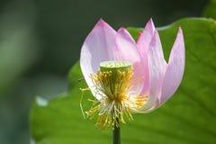 Flor y abeja de Lotus Imagen de archivo