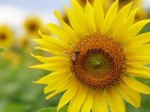 Flor y abeja de Sun Imagen de archivo libre de regalías