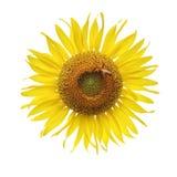 Flor y abeja de Sun Fotos de archivo