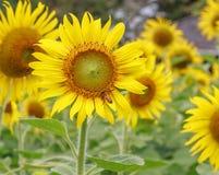 Flor y abeja de Sun Foto de archivo