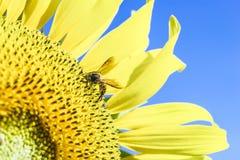 Flor y abeja de Sun Fotografía de archivo libre de regalías