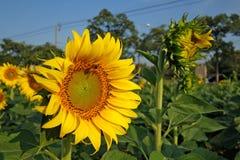 Flor y abeja de Sun Foto de archivo libre de regalías