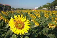 Flor y abeja de Sun Fotos de archivo libres de regalías