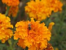 Flor y abeja de Tagetes Foto de archivo