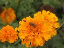 Flor y abeja de Tagetes Imagen de archivo libre de regalías
