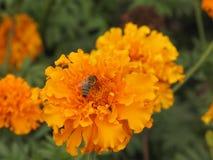 Flor y abeja de Tagetes Imágenes de archivo libres de regalías