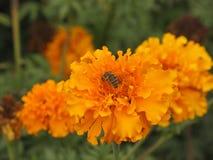 Flor y abeja de Tagetes Foto de archivo libre de regalías