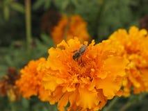 Flor y abeja de Tagetes Imagen de archivo