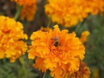 Flor y abeja de Tagetes Fotografía de archivo