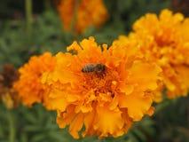 Flor y abeja de Tagetes Fotos de archivo libres de regalías