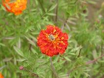 Flor y abeja de Tagetes Imagenes de archivo
