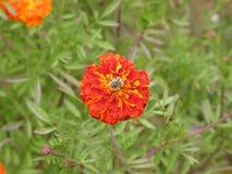 Flor y abeja de Tagetes Fotos de archivo