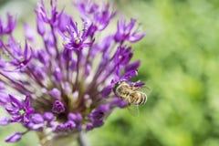 Flor y abeja del allium Imagenes de archivo