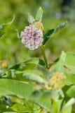 Flor y abeja del Asclepias Imagen de archivo